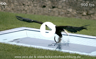 African eagle from a falconry catching pray in a pool recorded with a pco.1200 hs highspeed CMOS camera